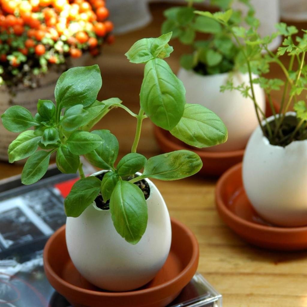 Oeuf plante